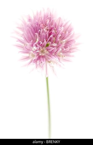 Macro photo of a pink allium isolated on white - Stock Photo