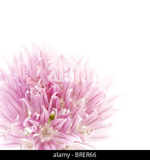 Closeup of a pink chives flower, ideal for illustrating concepts such as freshness and elegance - Stock Photo