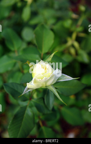 white rose bud on a green background - Stock Photo
