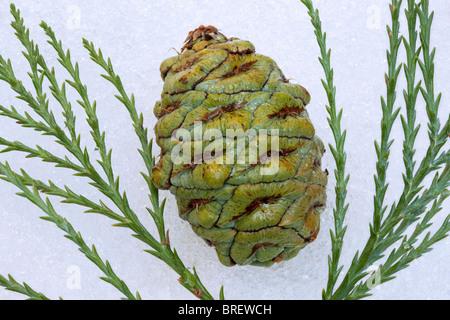 Cone and branch of Giant Sequoia (Sequoiadendron giganteum) Sequoia National Park, California - Stock Photo