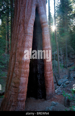 Burned out Giant Sequoia tree with sunburst in Grant Grove. Kings Canyon National Park, California - Stock Photo