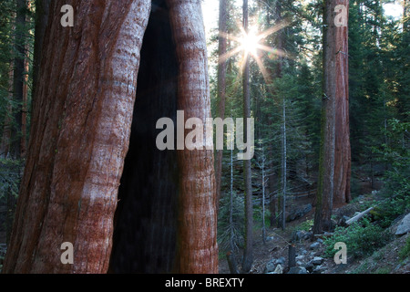 Burned out Giant Sequoia tree with sunburst in Grant Gove. Kings Canyon National Park, California - Stock Photo