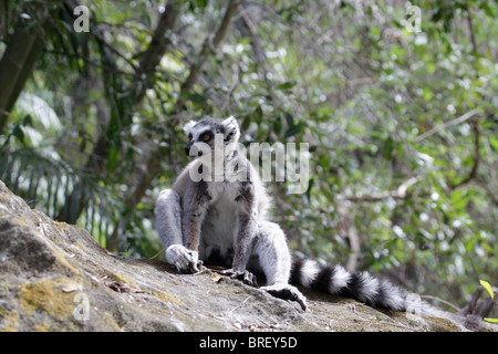 Wild Ring-tailed Lemur (Lemur catta) sitting on a rock in Isalo National Park, south-western Madagascar. - Stock Photo