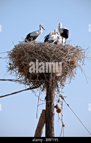 White Stork Ciconia Ciconia Storks Nesting On The Walls