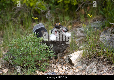 Male Dusky Grouse (Dendragapus obscurus) displaying feathers, Black Canyon of the Gunnison National Park, Montrose, - Stock Photo