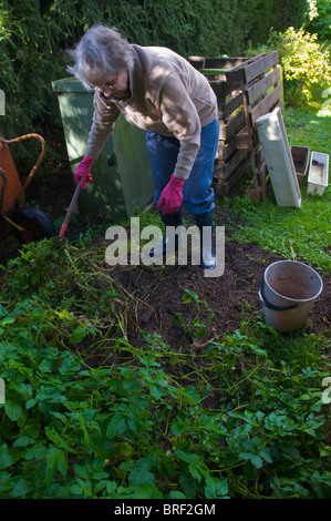Senior woman lifting potatoes from city garden Finland Scandinavia northern Europe - Stock Photo