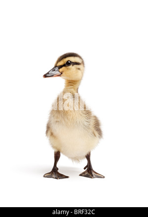 duck isolated on white - female Mallard duckling closeup - Stock Photo