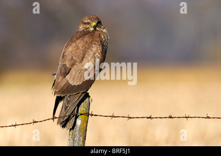 Common Buzzard (Buteo buteo) on a perch, pasture fence, Swabian Alb, Baden-Wuerttemberg, Germany, Europe - Stock Photo