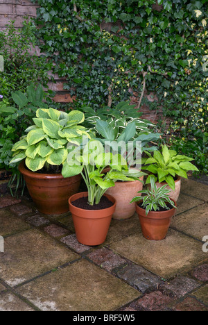 Pot plants of lily in front of brick wall covered with ivy - Stock Photo