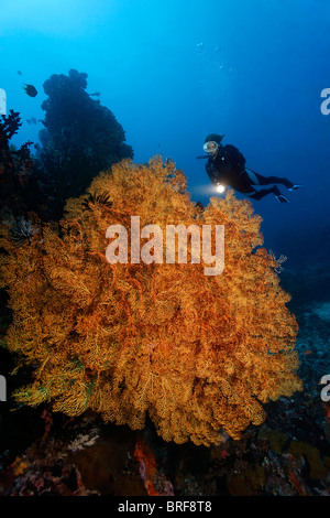 Diver looking at large, undefined Sea Fan at coral reef, Gangga Island, Bangka Islands, North Sulawesi, Indonesia, - Stock Photo