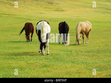 Four Horses grazing in green pasture on sunny afternoon. - Stock Photo