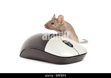 live grey mouse with computer mouse isolated on white - Stock Photo