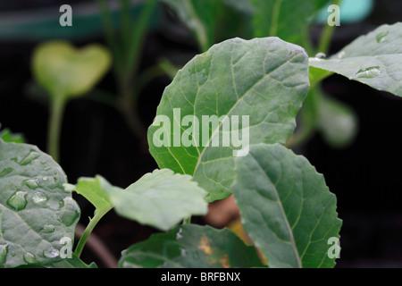 Black Nero cabbage Brassica oleracea Acephala Group. - Stock Photo