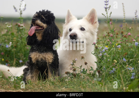 White Swiss Shepherd and Miniature Poodle - Stock Photo