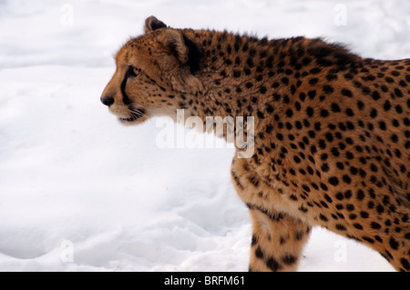 Cheetah in Snow - Stock Photo