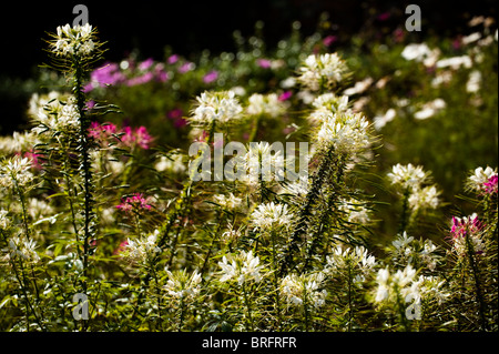 Spider Flower, Cleome hassleriana 'Helen Campbell', in bloom - Stock Photo