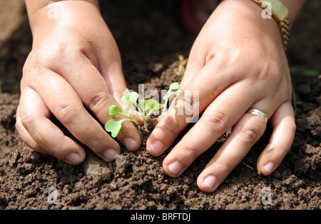 Hands holding a seedling being planted in rich black soil. - Stock Photo