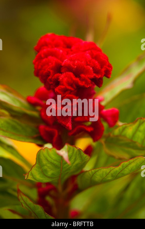 Cockscomb, Celosia argentea 'Chef en Melange', in flower - Stock Photo