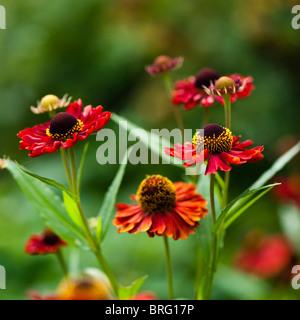 Helenium autumnale Red Hybrids in flower - Stock Photo