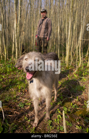 taken on morning out with 8 Bedlington Whippets - Stock Photo