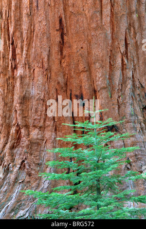 Small fir tree and giant sequoia in Mariposa Grove. Yosemite National Park, California - Stock Photo