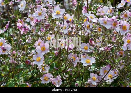 Anemone hupehensis var. japonica PRINZ HEINRICH - Stock Photo