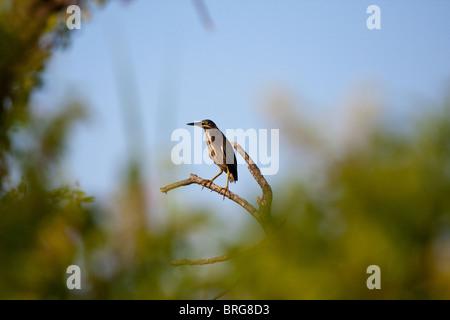 Green Heron (Butorides virescens) in natural habitat in Sabine National Wildlife Refuge, Louisiana. - Stock Photo