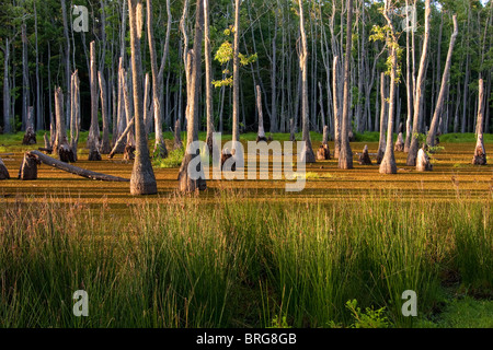 Majestic bald cypress trees (Taxodium distichum) rise from swamp bogs at Sam Houston Jones State Park, Lake Charles, - Stock Photo