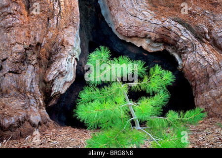 Pine tree and burned out portion of a Giant Sequoia (Sequoiadendron giganteum). Mariposa Grove. Yosemite National - Stock Photo