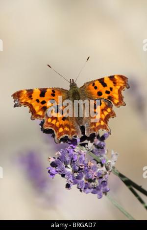 Comma Polygonia c-album Taken At Martin Mere WWT, Lancashire UK - Stock Photo