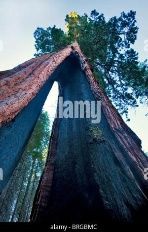 Clothspin Tree. Giant Sequoia Redwood. Mariposa Grove. Yosemite National Park, California - Stock Photo
