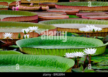 White tropical water lilies and large Amazon Lily leaves. Hughes Water Gardens, Oregon - Stock Photo