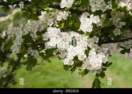 Hawthorn (May) blossom in springtime in Dentdale in the Yorkshire Dales National Park - near the village of Dent, - Stock Photo