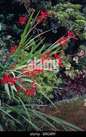 Crocosmia cultivar 'Lucifer' in a Herbaceous Border of a Garden - Stock Photo