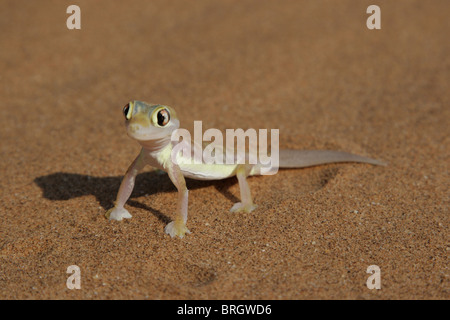 Palmatogecko (Pachydactylus rangei), also known as Web-footed Gecko, a nocturnal gecko endemic to the Namib Desert. - Stock Photo