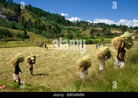 Farmers harvesting rice, Madagascar