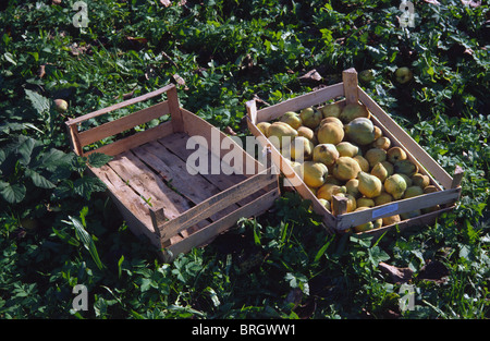 Quince in box - Stock Photo