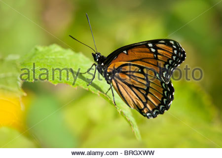 The Viceroy butterfly in the photo resembles the Monarch Butterfly, an example of Müllerian mimicry in Toronto Canada - Stock Photo