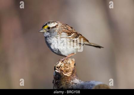 Adult Male White-throated Sparrow Perched on a Dead Branch - Stock Photo