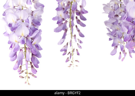 closeup on wisteria flowers isolated on white background - Stock Photo