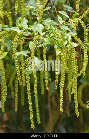 Long attractive racemes of greenish white flowers on the Holly-leaved Sweet Spire (Itea ilicifolia) in Autumn in - Stock Photo
