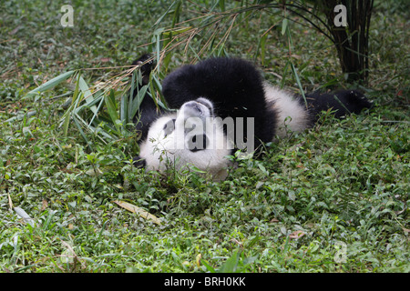 Giant Panda Ailuropoda melanoleauca young bear lying on its back eating bamboo shoots from its front paw with eye - Stock Photo