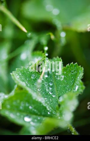 Close-up of Water Drops on Leaf, Grundarfjordur, Snaefellsnes Peninsula, Iceland - Stock Photo
