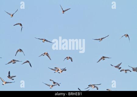 Wood pigeon ( Columba palumbus ) flock in flight - Stock Photo
