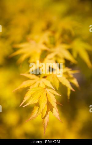 Close-up of Japanese Maple Leaves, Seattle, Washington, USA - Stock Photo