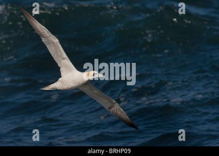 Northern Gannet (Morus bassanus) flying over the atlantic ocean, north of the Skye island, Scotland - Stock Photo