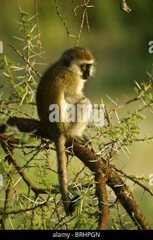 Young black-faced vervet monkey sitting in acacia tree, Samburu, Kenya - Stock Photo