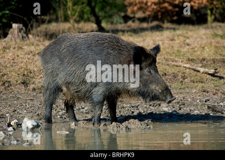 Wild boar (Sus scrofa) standing in mud near pool, Germany - Stock Photo