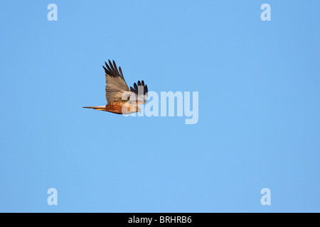 Marsh harrier (Circus aeruginosus), male in flight, Austria - Stock Photo