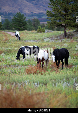 Black Hills Wild Horse Sanctuary, South Dakota, SD, (near Hot Springs) United States of America, USA - Stock Photo